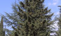 forma piramidal do cipreste – Cupressus sempervirens