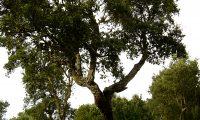 hábito de jovem sobreiro, sobro - Quercus suber