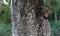 tronco de sobreiro que nunca fora descortiçado - Quercus suber