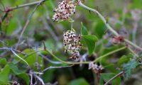 flores femininas de salsaparrilha, alegra-campo - Smilax aspera