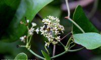 flores femininas de salsaparrilha, alegra-campo, alegação - Smilax aspera