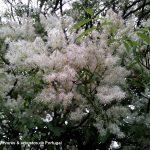 aspecto parcial das flores do freixo-das-flores - Fraxinus ornus