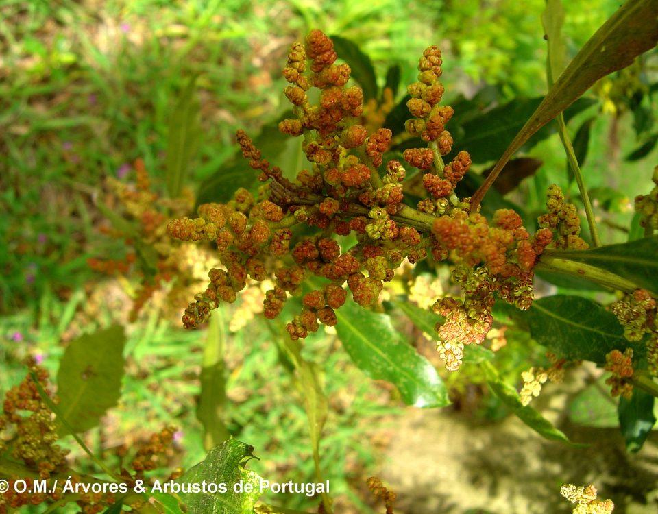 Flores masculinas do samouco, faia-das-ilhas, faia-da-terra - Myrica faya