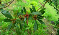 Flores do samouco, faia-das-ilhas, faia-da-terra - Myrica faya