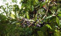 frutos maduros de samouco, faia-das-ilhas, faia-da-terra - Myrica faya