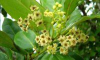 Flores do til - Ocotea foetens