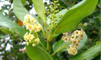 Flores de til - Ocotea foetens