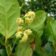 Flores de til e página inferior com glândulas revestidas de pêlos - Ocotea foetens