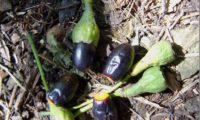 frutos maduros de til – Ocotea foetens