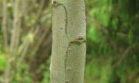 ramo jovem de til quadrangular, com tegumento liso, cinzento-esverdeado - Ocotea foetens