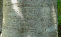 aspecto e cor de ritidoma do til - Ocotea foetens