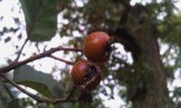 pomos do mostajeiro-de-folhas-largas - Sorbus latifolia