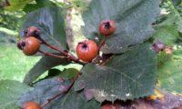 pomos maduros do mostajeiro-de-folhas-largas, pormenor - Sorbus latifolia