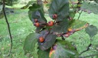 pomos maduros do mostajeiro-de-folhas-largas - Sorbus latifolia
