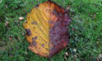 página superior do mostajeiro-de-folhas-largas, outono – Sorbus latifolia