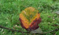 página superior do mostajeiro-de-folhas-largas, cores outonais – Sorbus latifolia