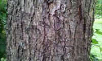 ritidoma adulto do mostajeiro-de-folhas-largas - Sorbus latifolia
