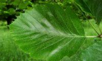 página superior do mostajeiro-de-folhas-largas – Sorbus latifolia