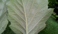 página inferior de mostajeiro-de-folhas-largas – Sorbus latifolia