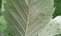 página inferior do mostajeiro-de-folhas-largas, nervuras salientes – Sorbus latifolia
