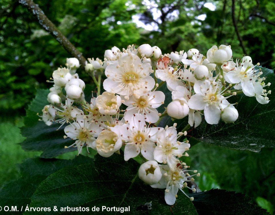 flores em corimbo do mostajeiro-de-folhas-largas – Sorbus latifolia