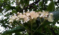 flores em corimbo terminal do mostajeiro-de-folhas-largas – Sorbus latifolia