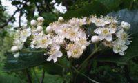 flores e botões do mostajeiro-de-folhas-largas – Sorbus latifolia
