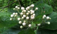 botões do mostajeiro-de-folhas-largas – Sorbus latifolia