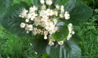 flores do mostajeiro-de-folhas-largas – Sorbus latifolia