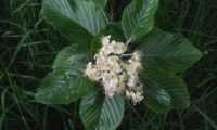 corimbo da sorveira-branca, botoeiro, mostajeiro-branco – Sorbus aria