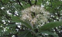 corimbo e folhas da sorveira-branca, botoeiro, mostajeiro-branco – Sorbus aria