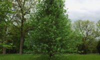 hábito jovem piramidal da sorveira-branca, botoeiro, mostajeiro-branco – Sorbus aria