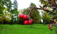 pomos com lenticelas da sorveira-branca, botoeiro, mostajeiro-branco – Sorbus aria