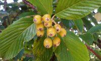 frutos em maturação da sorveira-branca, botoeiro, mostajeiro-branco – Sorbus aria