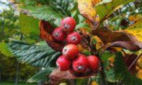 pomos maduros da sorveira-branca, botoeiro, mostajeiro-branco – Sorbus aria