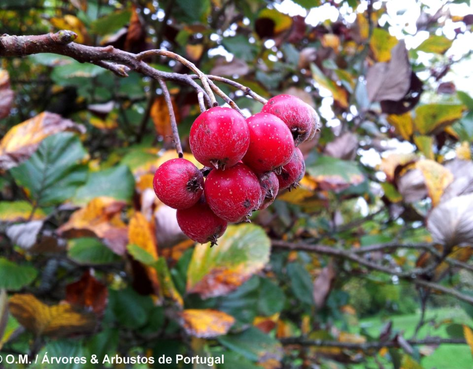 frutos maduros da sorveira-branca, botoeiro, mostajeiro-branco – Sorbus aria