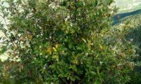 hábito jovem da sorveira-branca, botoeiro, mostajeiro-branco – Sorbus aria