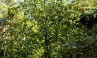 hábito piramidal no meio natural da sorveira-branca, botoeiro, mostajeiro-branco – Sorbus aria