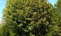 hábito veranil, copa globosa da sorveira-branca, botoeiro, mostajeiro-branco – Sorbus aria