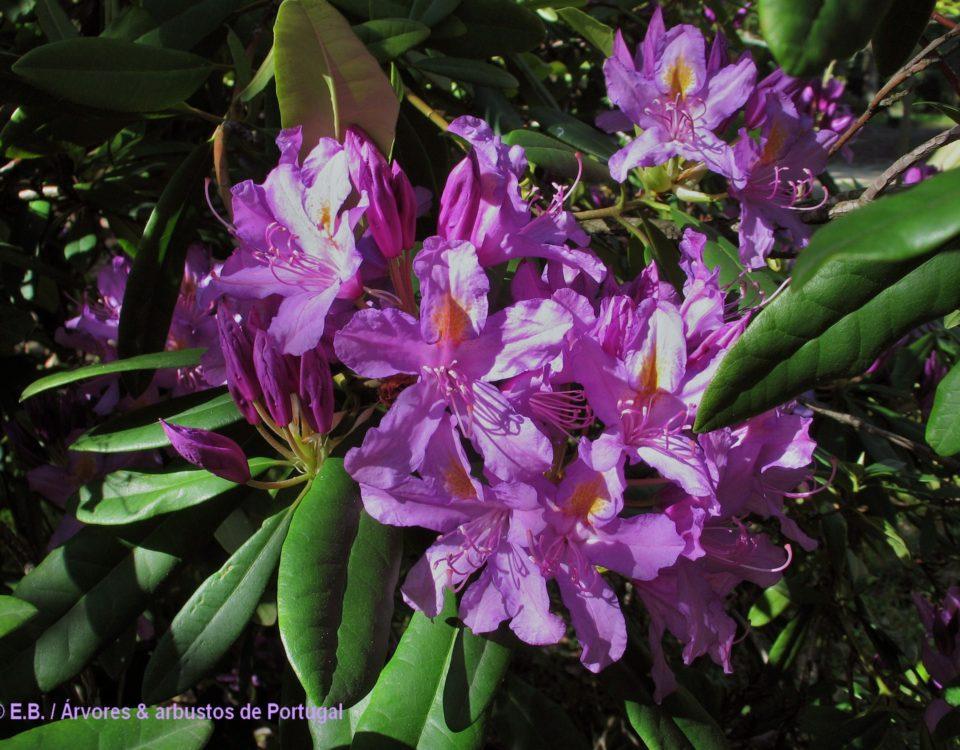 Inflorescência de rododendro, loendro, adelfeira