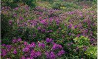 vista parcial, rododendros da reserva do Cambarinho