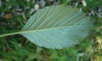 página inferior da sorveira-branca, botoeiro, mostajeiro-branco – Sorbus aria