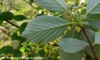 páginas inferiores da sorveira-branca, botoeiro, mostajeiro-branco – Sorbus aria