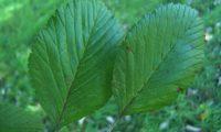 páginas superiores da sorveira-branca, botoeiro, mostajeiro-branco – Sorbus aria