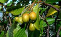 pomos em maturação da sorveira-branca, botoeiro, mostajeiro-branco – Sorbus aria
