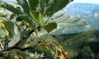 pomos em vias de maturação da sorveira-branca, botoeiro, mostajeiro-branco – Sorbus aria