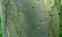 ritidoma adulto com fissuras e placas longitudinais da sorveira-branca, botoeiro, mostajeiro-branco – Sorbus aria