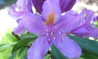 Pormenor da flor de rododendro, loendro, adelfeira
