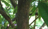 Aspecto ritidoma de rododendro, loendro, adelfeira