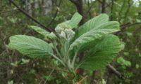 botões e folhas felpudas da sorveira-branca, botoeiro, mostajeiro-branco – Sorbus aria